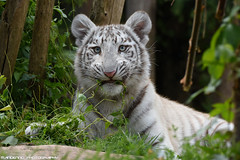 Bengal white tiger cub - Zoo Amneville (Mandenno photography) Tags: animal animals white whitetiger tiger tijger tigercub cub cat bigcat big zoo dierenpark dierentuin dieren amneville zooamneville
