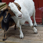 Goat Friends thumbnail