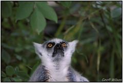 Lemur -Ring Tailed (Hawk 3663) Tags: lemur sonya6000