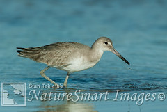 Willet winter plumage Tekiela B2EB9450 (Stan Tekiela's Nature Smart Wildlife Images) Tags: avian birds feathers birding wildlife naturesmartwildlifewordsandimages stantekiela copyright allrightsreservered stockimage professionalphotographer images animals nature naturalist wild stockphotos digitalimages critter stockimages willet