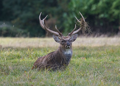 Sika Deer Stag -1-2 (seandarcy2) Tags: deer stag wildlife woburn beds uk animals mammals sika captive