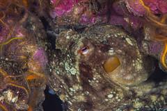 Octo1Oct5-18 (divindk) Tags: anacapa anacapaisland camouflage channelislands channelislandsnationalpark octopus octopusbimaculoides sanmiguelisland santabarbara santacruzisland santarosaisland underwater ventura bimacoctopus diverdoug marine ocean octo reef sea tentacles twospotoctopus underwaterphotography