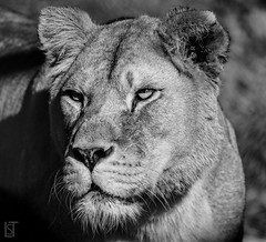 Lioness (liamtatts84) Tags: lioness lion safari big cat zoo black white bw potrait animal
