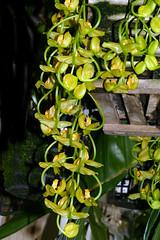 Gongora galeata var. luteola species orchid 9-18 (nolehace) Tags: gongora galeata var luteola species orchid 918 fragrant summer nolehace fz1000 flower plant bloom sanfrancisco