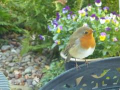 robin beauty (river crane sanctuary) Tags: robin rivercranesanctuary