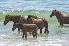 Family Day at the Beach (Chris Harbeck Photography) Tags: horses assateague beach ocean sand