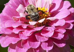 Bee deep dive (Shotaku) Tags: garden flowers flower macro closeup bee bees insect insects pink plants plant blooms blooming zinnia zinnias