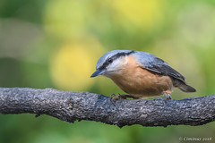 Sitta europaea. (Ciminus) Tags: naturesubjects aves ornitologia nature ciminus birds sittaeuropaea afsnikkor300mmf28gedvrii picchiomuratore wildlife nikond500 oiseaux garden ornitology nuthatch uccelli ciminodelbufalo coth coth5