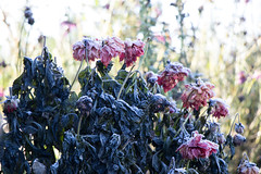 Fortitude: Red Dahlias (marylea) Tags: red reddahlias frost dahlias firstfrost garden flowers autumn fall seasons fading beauty nature blooms endings oct18 2018 fadingbeauty endofsomething endofgrowingseason frosty