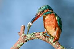 Martin-pêcheur d'Europe  (Alcedo atthis) (francisaubry) Tags: martin kingfisher alcedo bird waterbird nikonflickraward