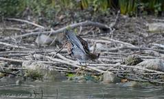 Impesanteur (milvus09) Tags: bécassinedesmarais gallinagogallinago commonsnipe charadriiformes scolopacidés