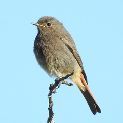 Black Redstart (Phoenicurus ochruros) (eerokiuru) Tags: blackredstart phoenicurusochruros hausrotschwanz mustlepalind bird p900 nikoncoolpixp900