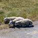 Sheep Ameland