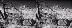 Infrared Deadfall IIl (turbguy - pro) Tags: 3d crosseye stereo infrared bw medicinebownationalforest