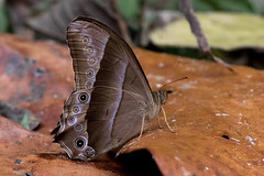 Lethe vindhya - the Black Forester (BugsAlive) Tags: butterfly mariposa papillon farfalla 蝴蝶 schmetterling бабочка conbướm ผีเสื้อ animal outdoor insects insect lepidoptera macro nature nymphalidae lethevindhya blackforester satyrinae wildlife chiangdaons chiangmai ผีเสื้อในประเทศไทย liveinsects thailand thailandbutterflies nikon105mm bugsalive ผีเสื้อเลอะเทอะกลางปีกดำ