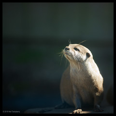 asian small-clawed otter (Neil Tackaberry) Tags: dingleoceanworldaquarium dingle oceanworld aquarium county co kerry countykerry cokerry ireland animal asian small claw otter asiansmallclawedotter clawed sniffing sniff aonyxcinereus neiltackaberry neil tackaberry