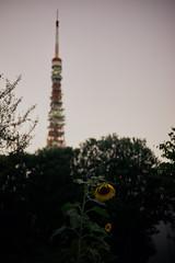 東京タワーと僕 (ryo_ro) Tags: a7 ilce7 sony nokton 50mm f15 cosina voigtlander vm tokyo tower