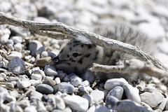Herring Gull Chick on White Shingle Island (blueheronco) Tags: herringgullchick gull bird chick herringgull youngherringgull whiteshingleisland whiteshingle island islet lake georgianbay ontario canada
