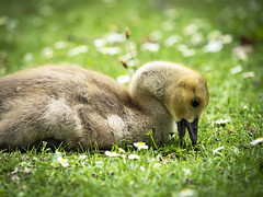 Isn't life wonderful (peggy wein) Tags: fe beak stretching babybird feathers eating grass daisies chick