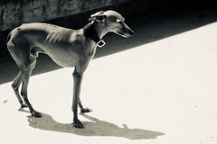 whippet (claudia 222) Tags: dog bw summicron 90mm
