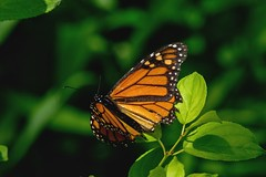 2017 Monarch (Danaus plexippus) 2 (DrLensCap) Tags: monarch danaus plexippus weber spur trail labagh woods chicago illinois abandoned union pacific railroad right way il bug insect butterfly rails to trails cook county forest preserve district preserves robert kramer
