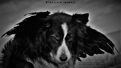 A Dog's Loyalty knows no boundaries (ASHA THE BORDER COLLiE) Tags: fallen angel wings heaven hell inspirational quote dogs love devotion loyalty gothic ashathestarofcountydown connie kells county down photography littledoglaughedstories