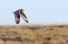 Shorty.! (nondesigner59) Tags: asioflammeus shortearedowl nature wildlife bird owl flight copyrightmmee eos7dmkii nondesigner nd59