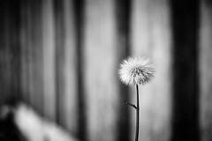 Fluffy (iamunclefester) Tags: blackandwhite monochrome westerheim fluffy lines stripes dof flower minimalistic minimal perspective detail macro