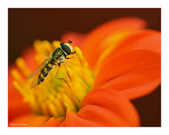 Pollinating (Graham Pym On/Off) Tags: hoverfly petals floral tithonia nikon sunflower pollen sunlit coth coth5