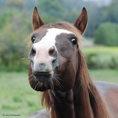 Horsing Around (John Neziol) Tags: jrneziolphotography portrait horse horsephotography horseandfriends animal animalphotography animalantics closeup cute naturallight nikon nikoncamera nikond80 nikondslr mammal photography outdoor equine funny racehorse thoroughbred