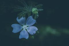 Blue ... (Julie Greg) Tags: colours blue flower flowers canon nature nautre park plant macro green