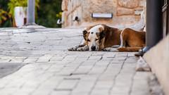 Security guard. \ Охранник. (Nitohap) Tags: собака утро охранник турция сиде мостовая лето morning guard turkey side pavement summer d850 28300