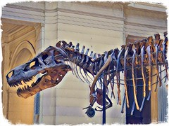 field museum. 2014 (timp37) Tags: field museum chicago illinois 2014 trex skeleton dinosaur photolab