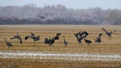 Sandhill Cranes in the Snow (Gerry Marchand) Tags: olympus omd em5 birds saskatchewan canada snow snowflakes sandhill crane winter