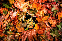 Nuts about Autumn (microwyred) Tags: forestwoods october events season nature mapletree leaf brown september red backgrounds orangecolor tree vibrantcolor forest colors multicolored outdoors beautyinnature yellow autumn plant