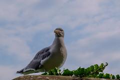 09072018-DSCF8880-2 (Ringela) Tags: medelhavstrut yellowlegged gull larus michahellis goéland leucophée sainthonorat juli 2018 france animals birds