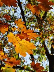 Golden Leafs (The-Beauty-Of-Nature) Tags: autumn fall herbst cozy mine october nature photography original light licht sunny sonnig forest woods wald trees bäume kühkopf naturalresort