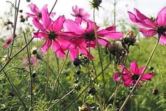 bloemen (wimrozenberg) Tags: bloemen flowers nature natuur