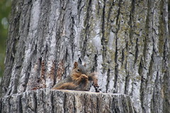 Squirrels in Ann Arbor at the University of Michigan - October 17th, 2018 (cseeman) Tags: gobluesquirrels squirrels annarbor michigan animal campus universityofmichigan umsquirrels10162018 fall autumn eating peanut acorns octoberumsquirrel mugs foxsquirrels easternfoxsquirrels michiganfoxsquirrels universityofmichiganfoxsquirrels