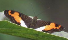 Adelpha cocala (Birdernaturalist) Tags: bolivia butterfly lepidoptera limenitidinae limenitidini nymphalidae richhoyer