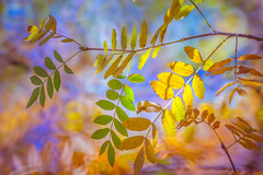 Autumn Series - 14 (Dhina A) Tags: sony a7rii ilce7rm2 a7r2 a7r tamron sp 500mm f8 tamronsp500mmf8 prime ad2 adaptall2 mirrorlens 55bb catadioptric reflex cf tele macro manualfocus autumn series leaves fall colorful colors park bokeh
