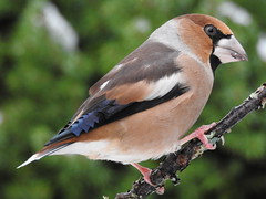 Hawfinch ♂ (Coccothraustes coccothraustes) (eerokiuru) Tags: hawfinch coccothraustescoccothraustes suurnokkvint suurnokk bird backyardbirds p900 nikoncoolpixp900