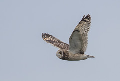 Short-eared Owl (hyu767) Tags: shortearedowl owl