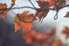 (amy20079) Tags: nikond5100 newengland leaf leaves oranges maine autumn fall trees branch branches maple mood mapleleaves bokeh