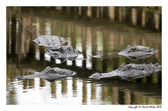 Four Gators In A Meeting (wesjr50) Tags: reptiles gator alligator naturewildlife naturallightphotography photoshop cc 2019 topaz nik color efex pro 4 water picture staugustinealligatorfarm sony dscrx10m4 24600mm f2440