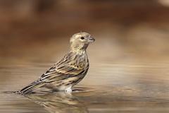 Verzellino (Marcello Giardinazzo) Tags: verzellino bird uccelli avifauna natura wild
