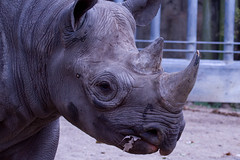 Black rhino (jan.stefka) Tags: 2018 blackrhinoceros chicago nosorožecdvourohý illinois zoo canoneos7d lincolnpark ef100400 bicornis