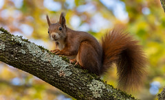 Eichhörnchen schau mal her (KaAuenwasser83) Tags: eichhörnchen tier fell alterfriedhof karlsruhe park garten anlage baum bäume judasbaum ast äste blätter herbst november 2018