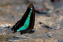 Graphium sarpedon - the Common Bluebottle (BugsAlive) Tags: butterfly mariposa papillon farfalla schmetterling 蝴蝶 бабочка conbướm ผีเสื้อ animal outdoor insects insect lepidoptera macro nature papilionidae graphiumsarpedon commonbluebottle papilioninae wildlife doisutheppuinp chiangmai liveinsects thailand thailandbutterflies ผีเสื้อสะพายฟ้า