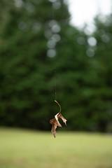 Pin Oak Leaf Suspended on Spider Silk (David Illig) Tags: oakleaf spidersilk maryland taxonomy:binomial=quercuspalustris